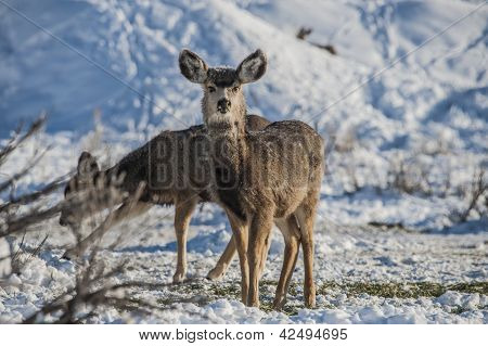 Mule Deer