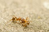 stock photo of deceased  - Red Ant Carrying Home A Deceased Soldier - JPG