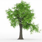 image of ash-tree  - ash tree with green leaves isolated on white - JPG
