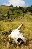 stock photo of cow skeleton  - A cattle cow skull in meadow with hills in the background - JPG