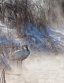 stock photo of trumpeter swan  - Trumpeter swan in morning light, with mist coming off the freezing lake.  Winter in Wisconsin