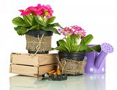 picture of primrose  - Beautiful pink primula in flowerpots and gardening tools - JPG
