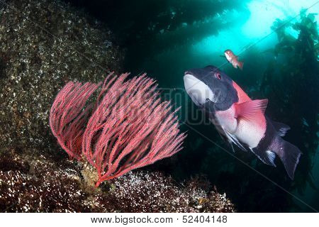 A beautiful California sheepshead fish swimming past a gorgonian sea fan in a deep kelp forest