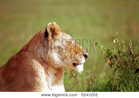 Lioness, Masaai Mara Game Reserve, Kenya
