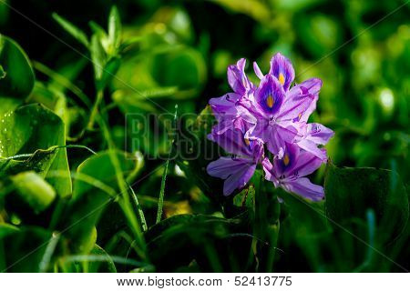 A Single Bloom of Flowering Water Hyacinth