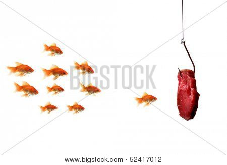 goldfish looking at the bait, isolated on a white background