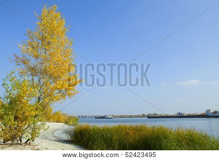 Yellow poplar on the banks of the river