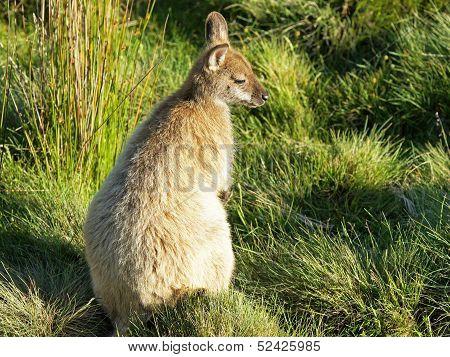 Bennett Wallaby, Australia
