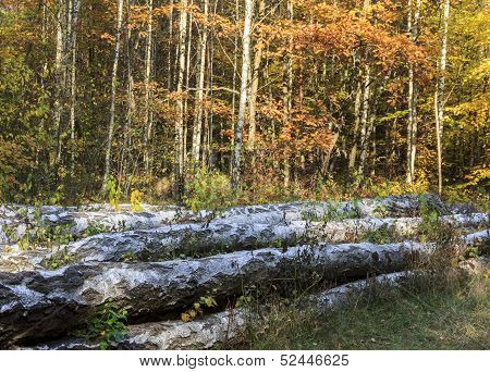 Big Birch Logs Lying On The Forest Floor Against The Background Of Growing Young Birches