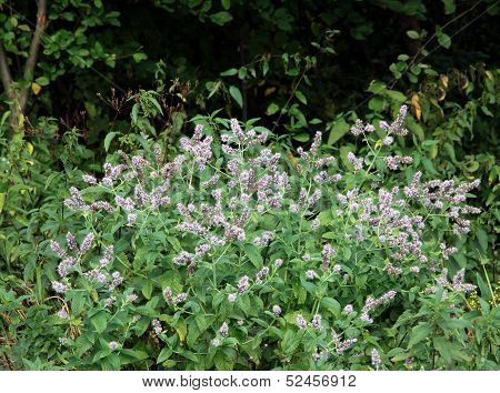 mint herb on meadow
