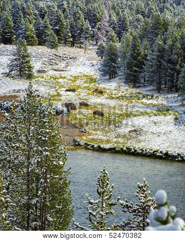 Bison Herd on Yellowstone River after a late September snowfall