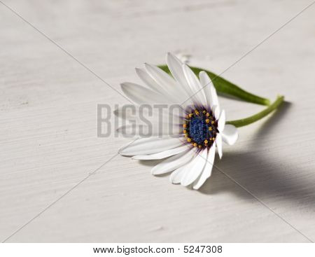 Beautiful Daisy On The Rustic Table