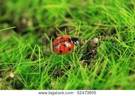 Beautiful ladybird on green moss, close up