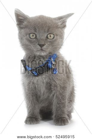 Gray cat baby kitty