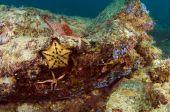 stock photo of cortez  - Several species of sea stars populate in the Sea of Cortez - JPG