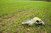 picture of cranium  - farm field landcsape with crop and horse cranium - JPG
