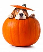 stock photo of puppy beagle  - beagle in pumpkin isolated on a white background - JPG