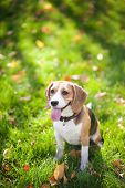 Beagle sitting in green grass