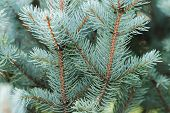image of blue spruce  - blue spruce twigs close up natural background for christmas - JPG
