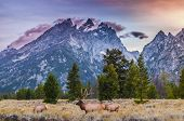 picture of breathtaking  - Elk  - JPG