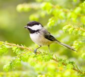 foto of chickadee  - A chickadee bird is perched in a hemlock tree on a green branch.
