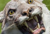 picture of cougar  - Cougar - JPG