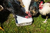 free-range chickens, symbolic photo for organic agriculture and welfare
