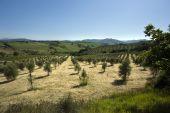 Olive Tree Plantation In Tuscany Landscape