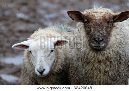 Irish Sheep...