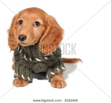 Cachorro de perro salchicha