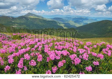 Summer mountain landscape with beautiful flowers. Big meadow of blooming rhododendron. Carpathian mountains, Ukraine, Europe. View the top Goverla