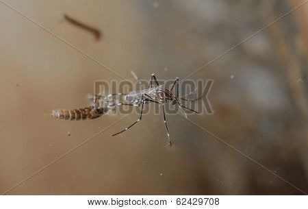 Common House Mosquito, Aedes Egypti