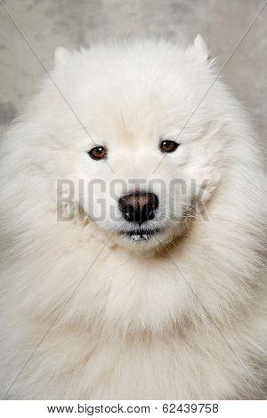Samoyed dog with happy face
