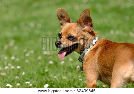 Chihuahua puppy dog is standing on green grass
