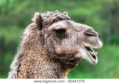 Bactrian camel portrait. Funny expression, head close up.