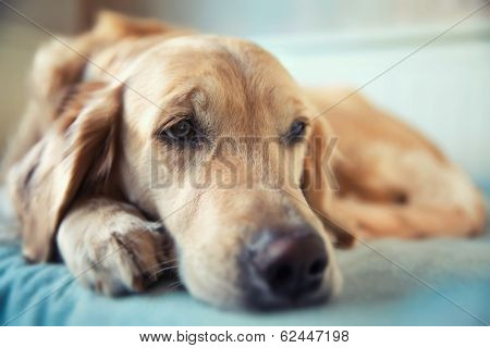 Dog lying on the bed - golden retriever
