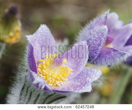 Macro Shot Of Dewy Purple Pulsatilla Slavica