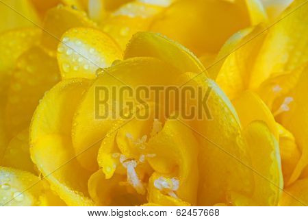 Dewy Petals Of Yellow Freesia
