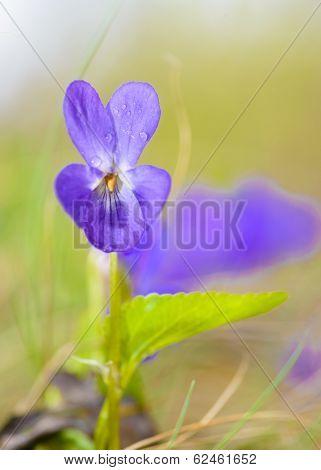 Viola Odorata Bloom