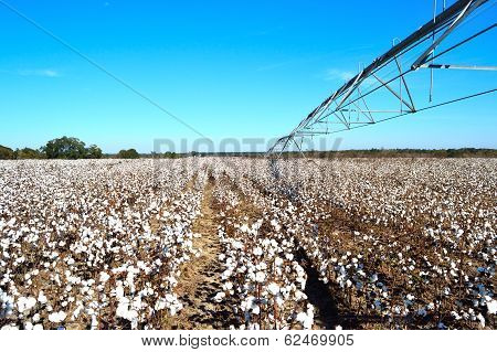 Landscape Pivot On Right Over Cotton Field Ready For Harvest