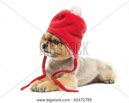 Groomed Pomeranian dog lying and wearing a red bonnet