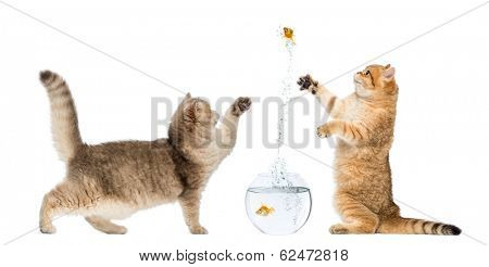 Two cats playing with a goldfish