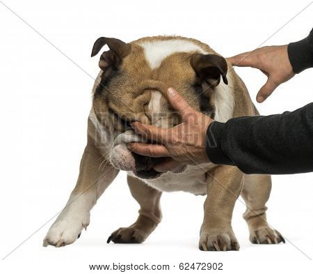 Disobedient English Bulldog