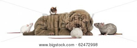 Shar Pei puppy lying down, sleeping and surrounded by mice
