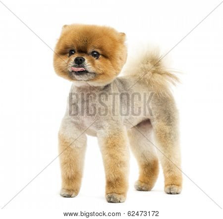 Groomed Pomeranian dog standing and sticking out its tongue