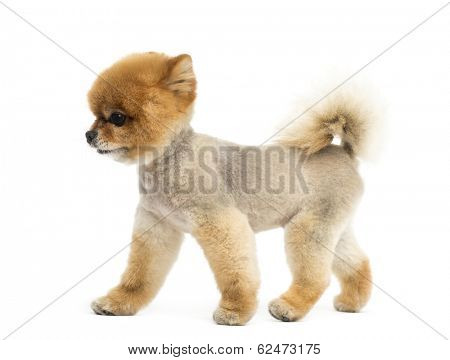 Groomed Pomeranian dog walking