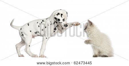 Dalmatian puppy and kitten high-fiving