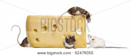 mouse perched on top of a big piece of cheese, looking down, Mus musculus