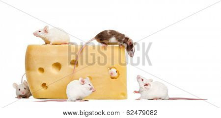 mouse on top of a big piece of cheese, looking down at a group of mice