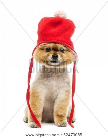 Grommed Pomeranian dog sitting and wearing a red bonnet